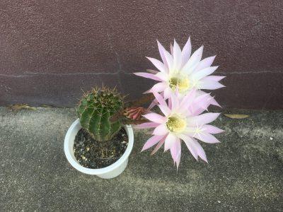 サボテンの花🌸